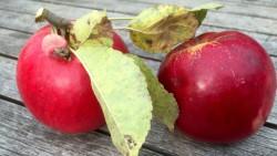 Obstbau - Äpfel von der Streuobstwiese